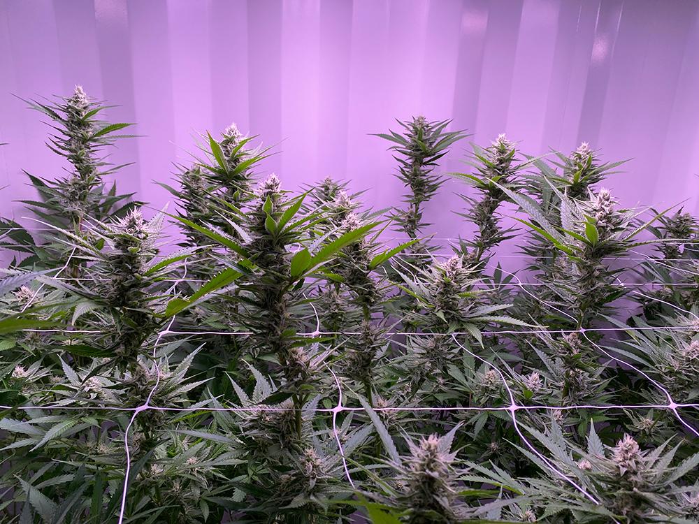 cannabis growing tips