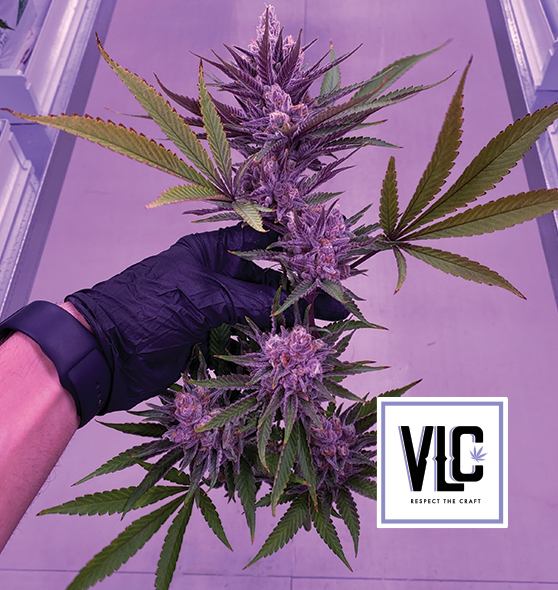 Growing Marijuana In Canada